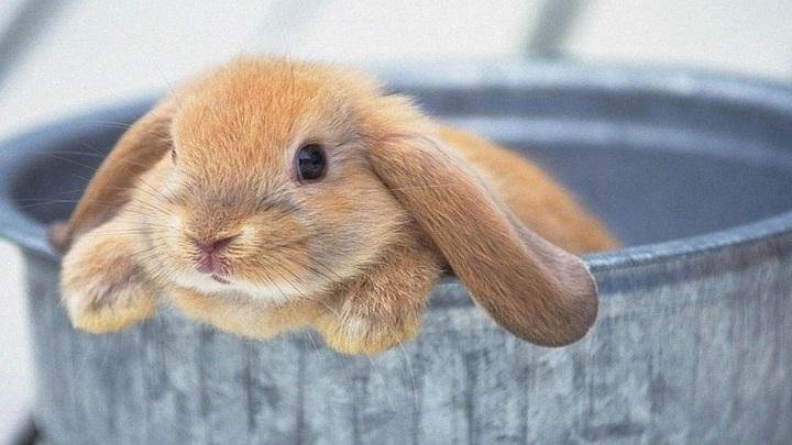 conejo ventaja e inconveniente1