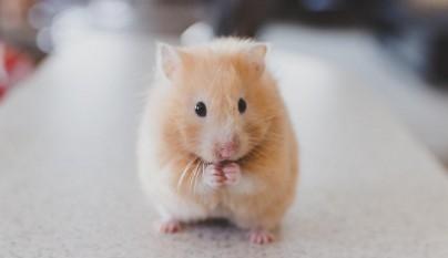 hamster edad