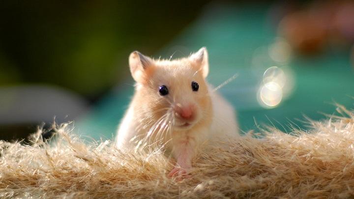 hamster edad1