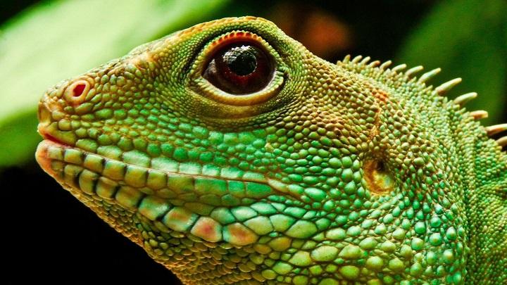 iguana enferma