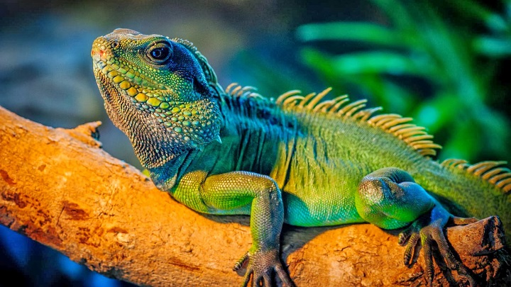 iguana enferma1