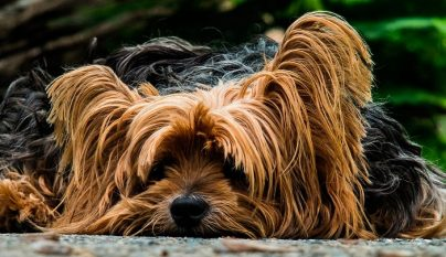 diarrea perro tratamiento