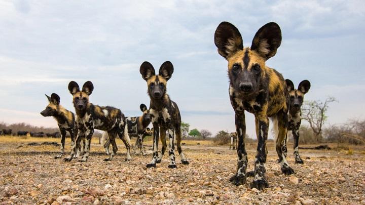 perros salvajes elefante