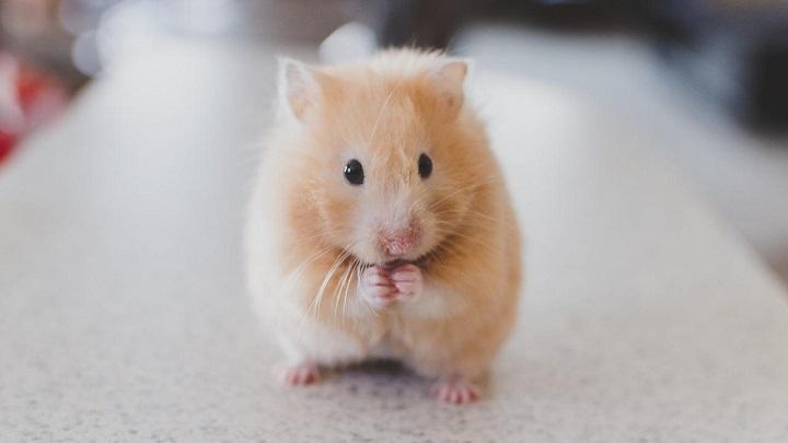 hamster ventajas