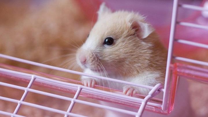 hamster ventajas1