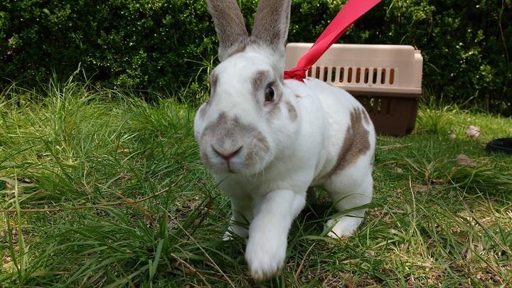 pasear conejo1