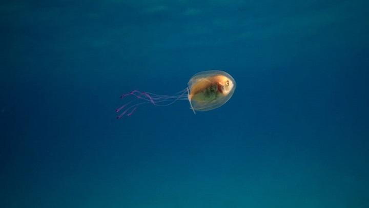 pez medusa2