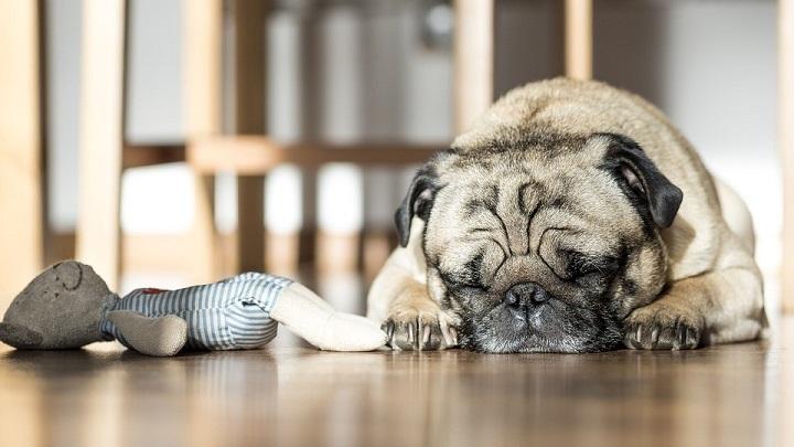 perro piso pequeno