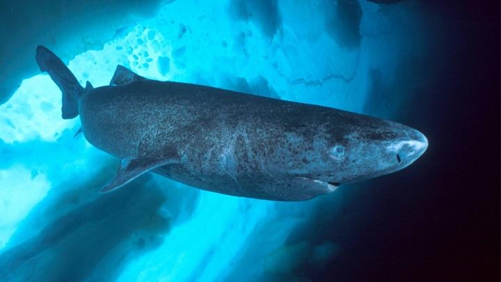 Tiburon de Gronelandia