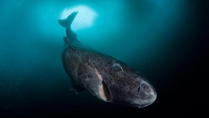 Tiburon de Gronelandia1
