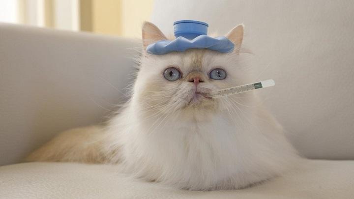 fiebre gato1