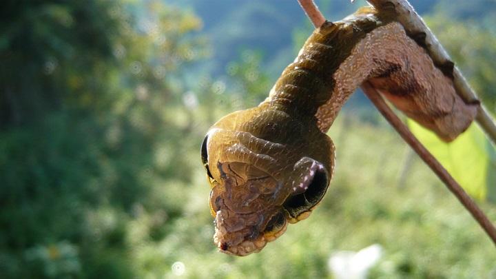 oruga serpiente1