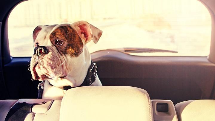 perro coche normas1