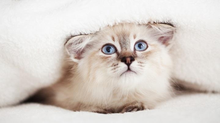 esterilizacion-gato-ventajas