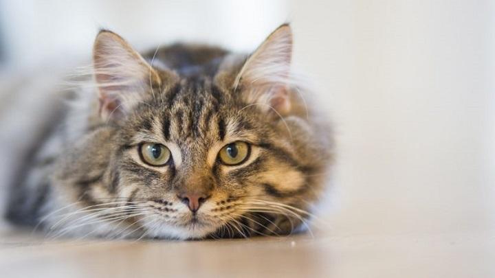 esterilizacion-gato-ventajas1