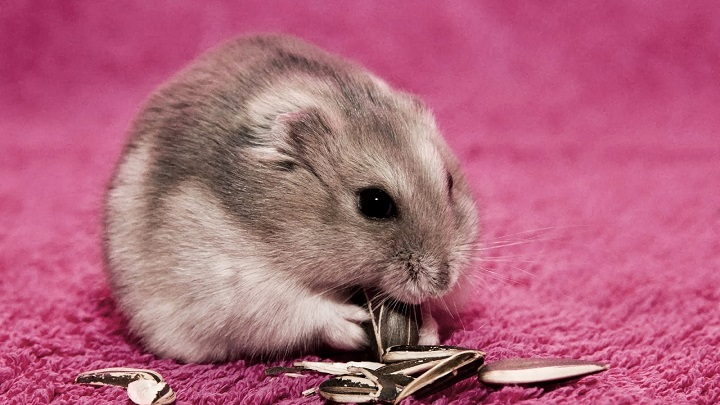 obesidad-hamster