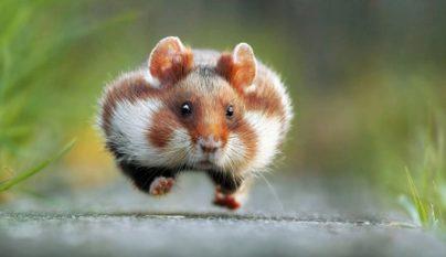 obesidad-hamster1