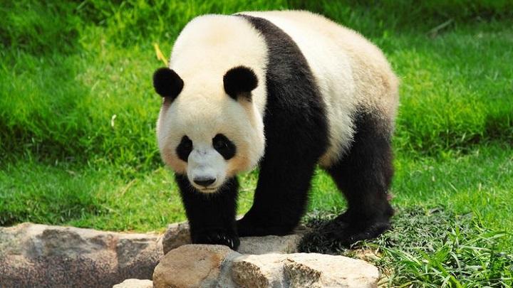 osos panda1