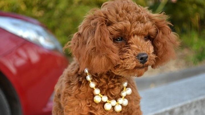 joyas-perros