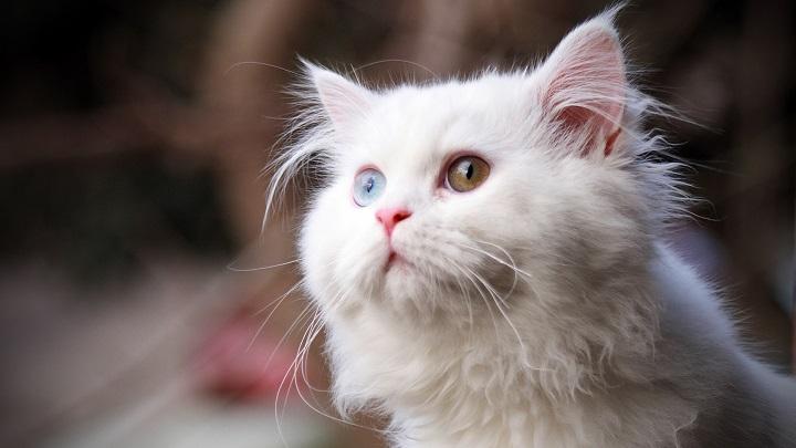 oido-gatos