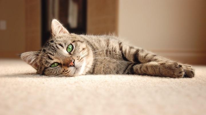 oido-gatos1