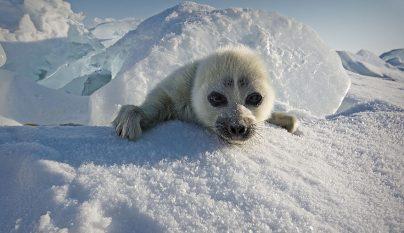 foca-bebe2
