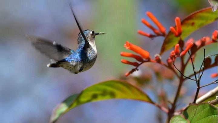 colibri-abeja