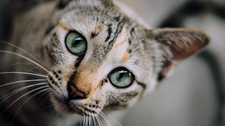 gato-reproduccion
