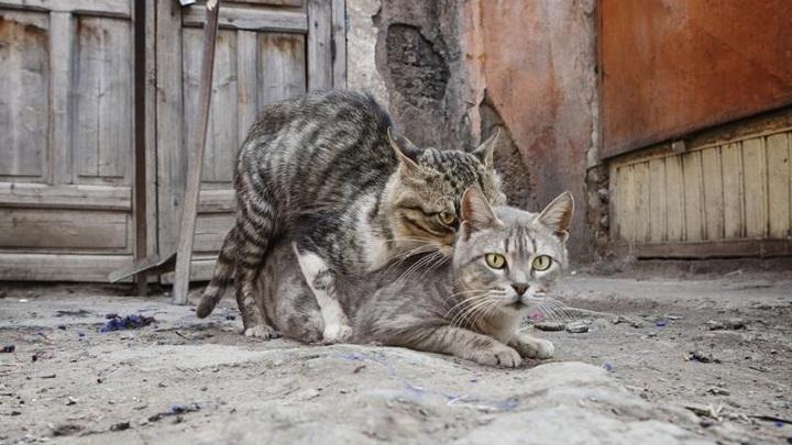 gato-reproduccion1