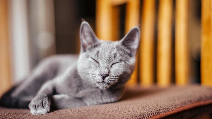 gato-enfermedad-mental