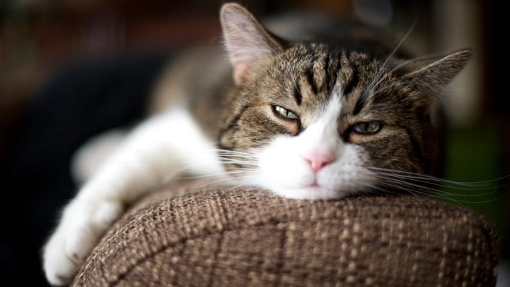gato-enfermedad-mental1