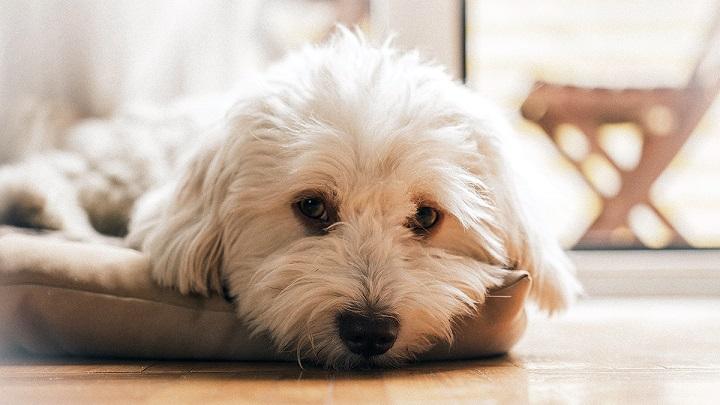 perro-enfermo1