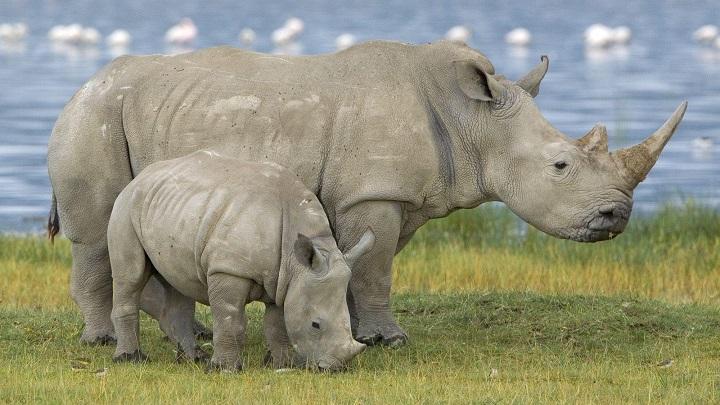 rinoceronte-nieve