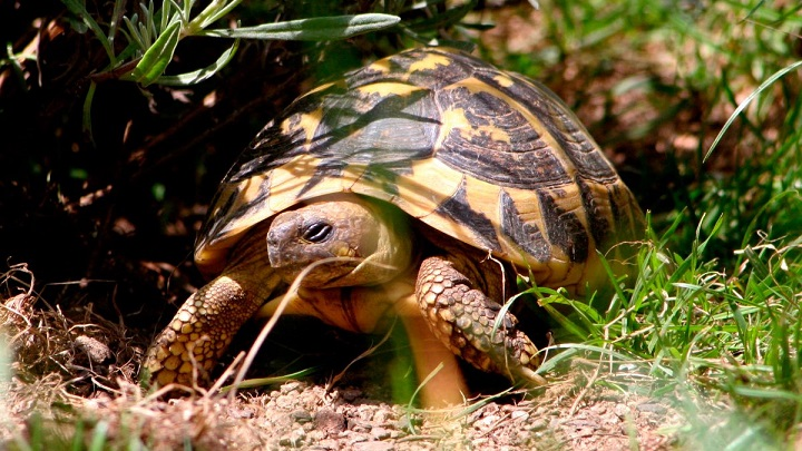 tortuga-hibernacion
