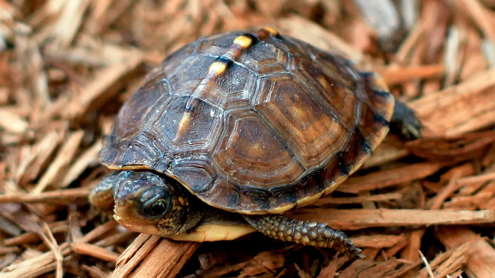 tortuga-hibernacion1