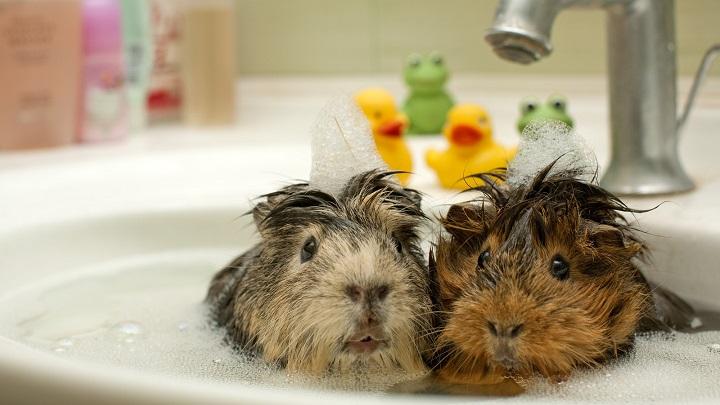higiene-cobayas