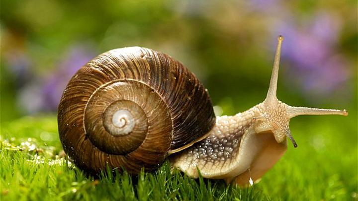 Los cuidados clave para tener un caracol como mascota for Caracol de jardin de que se alimenta
