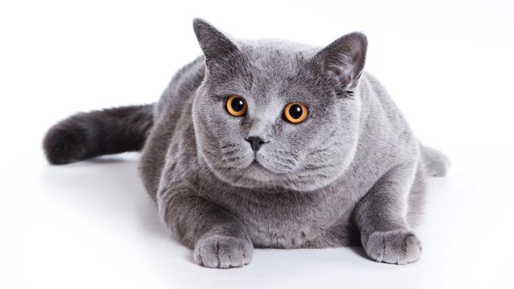 gatos-gordos