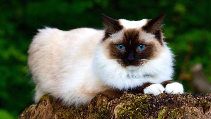 gatos-sobrepeso