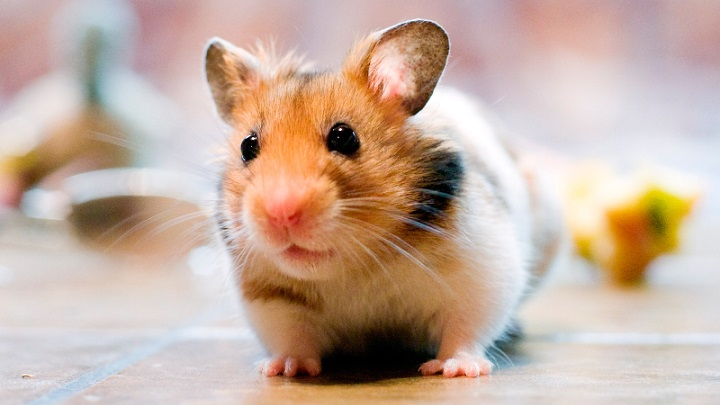hamster-desventajas