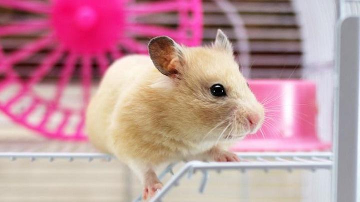 hamster-desventajas1