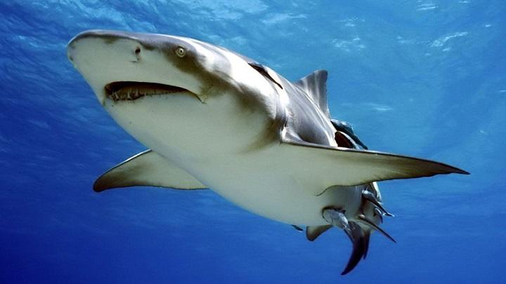 tiburon-limon