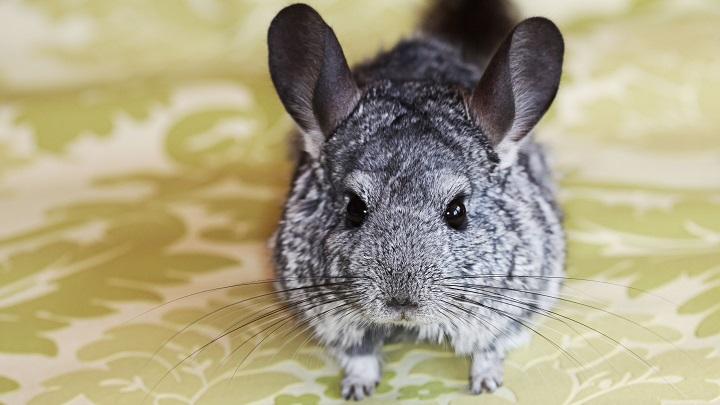 roedores-ninos4