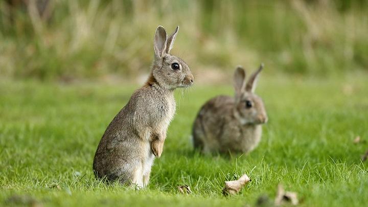 conejos-sentidos1