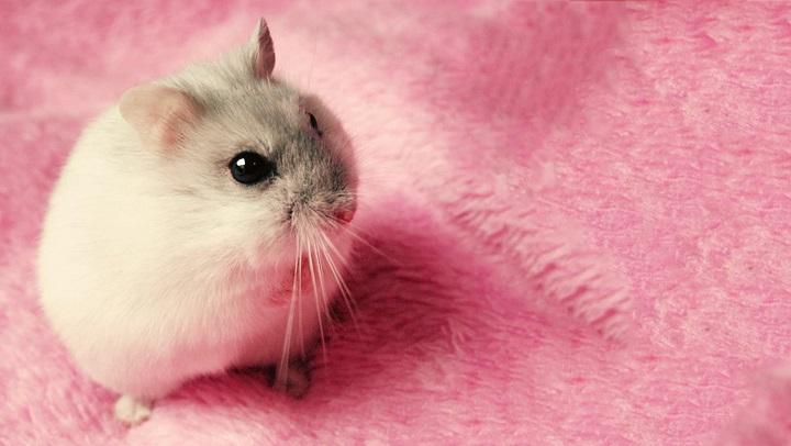 hamster-relacionarse