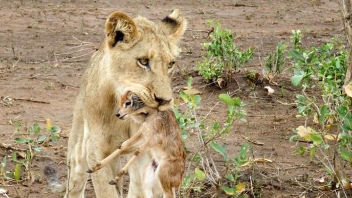 leon-antilope