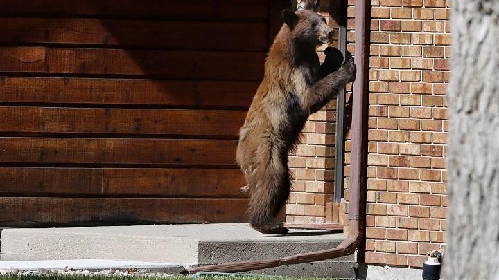 oso-negro-ladron