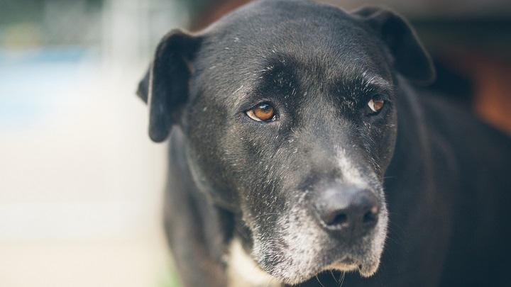perro-alzheimer