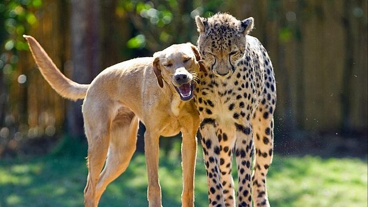 perro-guepardo1