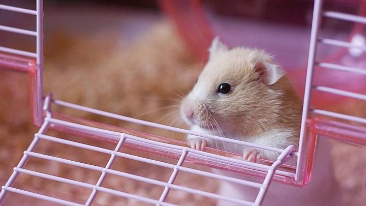 hamster-comida